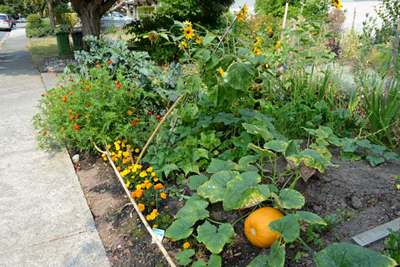 Garden Pumpkin in the front yard by the sidewalk in Victoria.